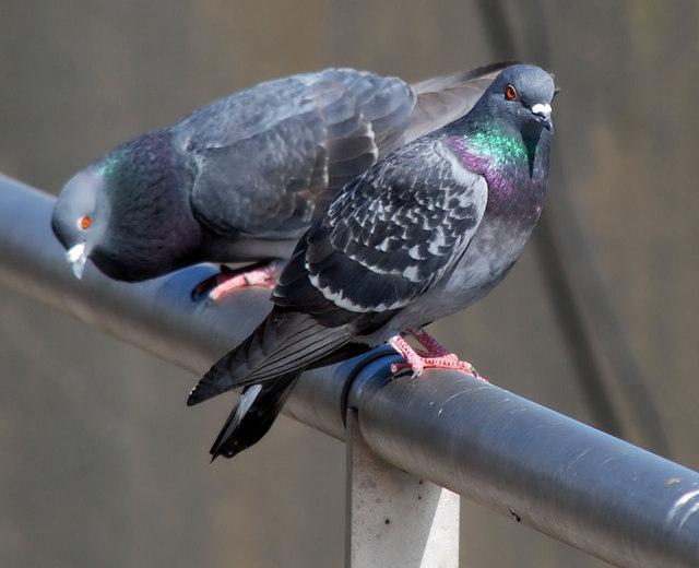 Feral pigeons, Belfast
