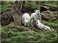 SJ2247 : Little lambs : Week 15