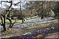 TQ8010 : Crocuses, Alexandra Park by N Chadwick