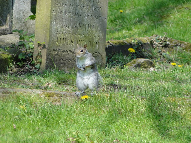 Grey Squirrel in Gt Yarmouth cemetery