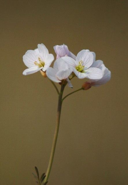 Cardamine pratensis (Lady's Smock)