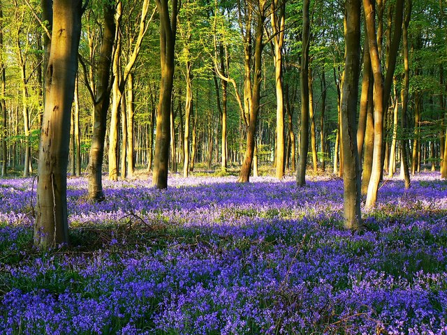 Beech trees and bluebells in Cobham Frith
