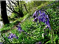 H4672 : Bluebells along the Camowen : Week 17
