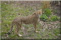SJ4170 : Cheetah, Chester Zoo by Bill Harrison
