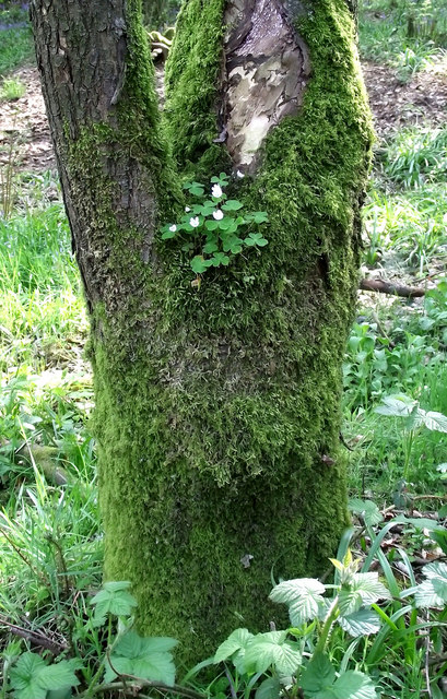 Wood Sorrel growing on a tree