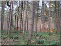 SK6276 : Coniferous harvest, Clumber Park by Peter Turner