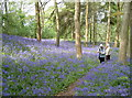 ST6763 : Awash with Bluebells, Stantonbury Hill by Neil Owen