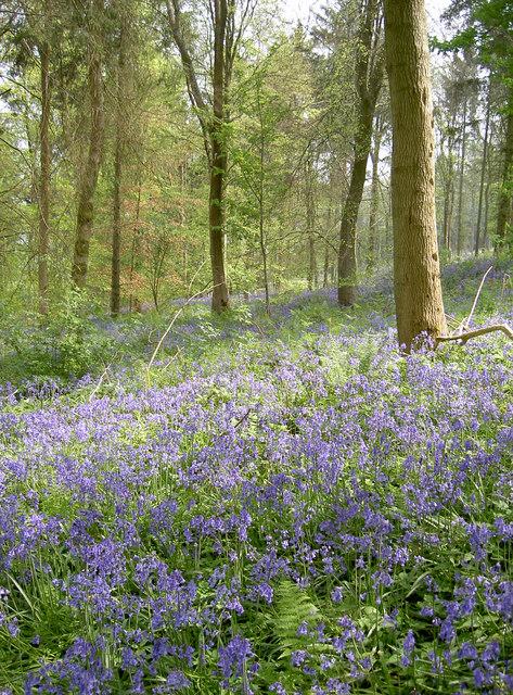 Bluebells, Stantonbury Hill