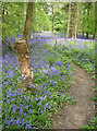 ST6763 : Footpath through the bluebells by Neil Owen