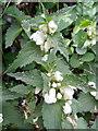 SU0725 : White dead-nettle (Lamium album),  Faulston Lane by Miss Steel