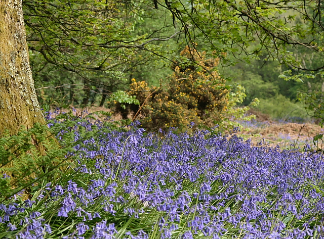Bluebells, Lewesdon Hill