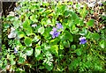 NH5799 : Violets at Shin Falls by John MacKenzie