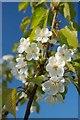 TM2222 : Soken Wood Blossom : Week 17