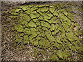 TQ8125 : Moss on a thatched roof : Week 18