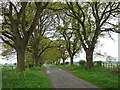 NY4369 : Avenue of trees near Wellknowe Rigg Farm by Oliver Dixon