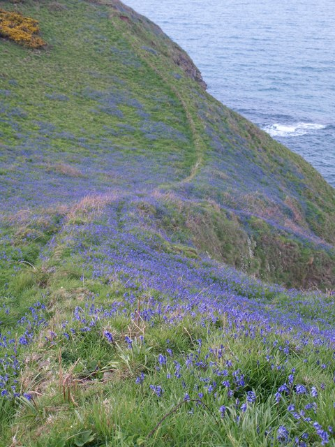 Bluebells near Com Head