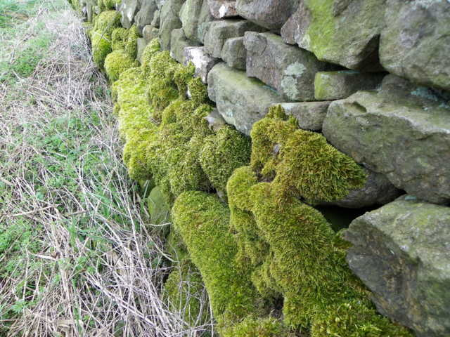 Moss on the wall, Marrick