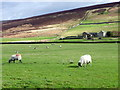 SE0699 : Swaledale sheep, Marrick by Miss Steel