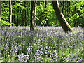 TQ8332 : Bluebells at Hole Park by Oast House Archive
