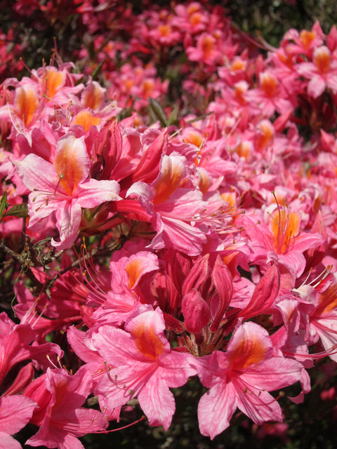 Azaleas at Hole Park