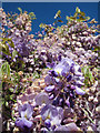 TQ8332 : Wisteria in the vineyard by Oast House Archive