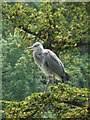 TQ3768 : Heron in a tree by the lake in Kelsey Park by Mike Quinn