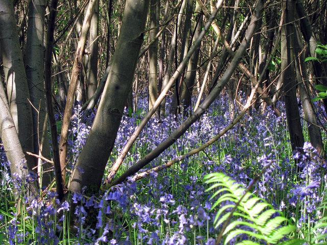Bluebells at Great Piper Wood
