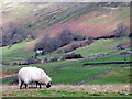 NZ0200 : Swaledale ewe, Reeth by Miss Steel