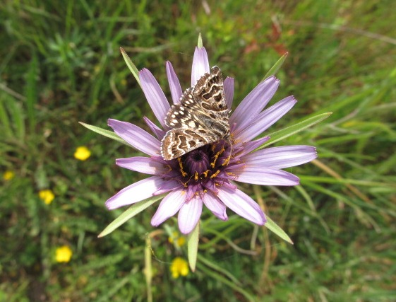A Mother Shipton moth on Salsify