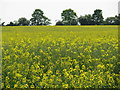 SP6729 : Field of oil-seed rape near Hillesden by Sarah Charlesworth