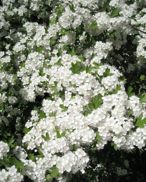 May blossom 2011