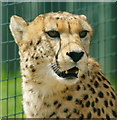 TQ5265 : Cheetah at Eagle Heights, Eynsford, Kent : Week 19