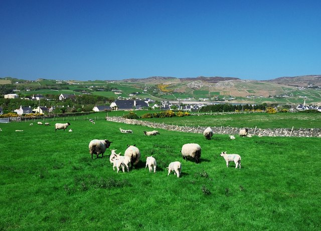 Dunfanaghy Ireland  city photos gallery : Sheep near Dunfanaghy C Rossographer :: Geograph Britain and Ireland