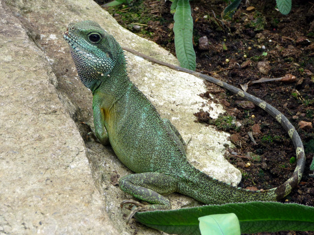 Chinese Water Dragon, Princess of Wales conservatory, Kew Gardens
