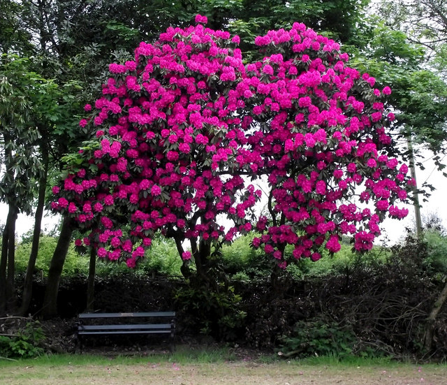 Rhododendron bush near the car park © Seo Mise cc-by-sa/2 ...