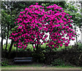 SJ8855 : Rhododendron bush near the car park by Jonathan Kington