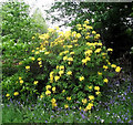 SJ8855 : Yellow Rhododendron by Jonathan Kington