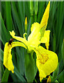 SJ8959 : Yellow Iris flower by Jonathan Kington