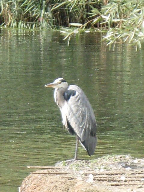 Heron on an island in a lake in Sutcliffe Park