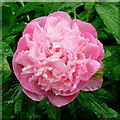 SO6424 : Pink Paeonia by Jonathan Billinger