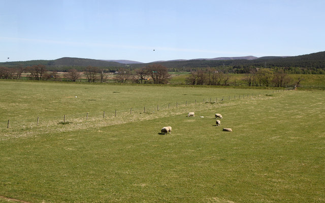 Sheep Grazing Beside The Spey