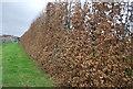TQ6446 : Shelterbelt, Moat Farm by N Chadwick