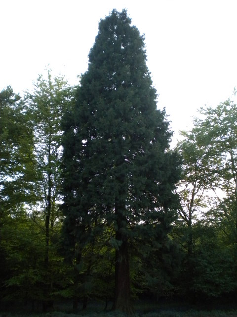 Giant Sequoioa