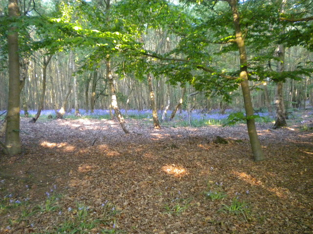 Bluebells in Pods wood