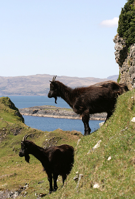Feral goats on Kerrera