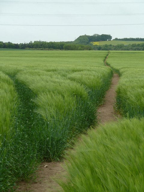 Footpath across a large field of barley