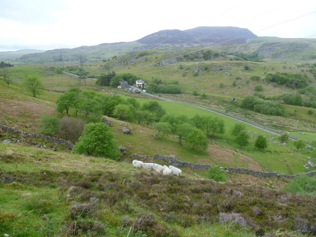 Sheep near Arenig