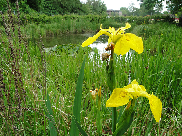 Yellow Flag Irises near Cow Tower, Norwich