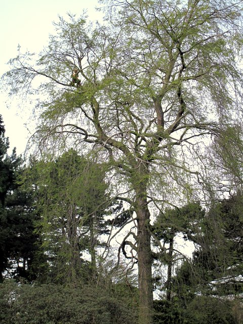 Tree surgeon, Botanic Gardens, Edinburgh