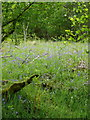 NN7446 : Bluebells in the woods by Russel Wills